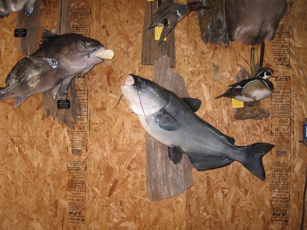 Jim borne 39 s taxidermy for Jims exotic fish